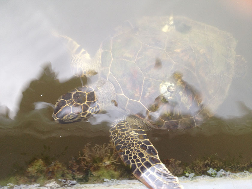 Turtle swimming under water