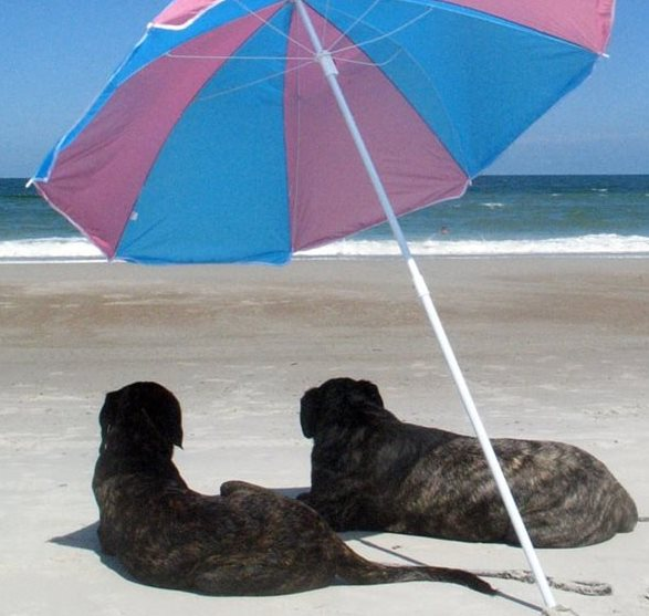 Two dogs sitting under an umbrella on a beach